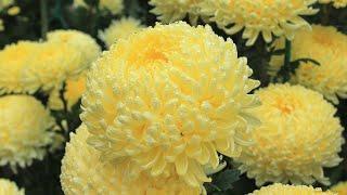 Хризантемы - цветы уходящей осени. Very beautiful music.