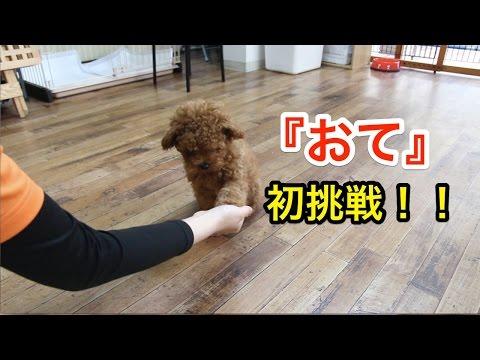『おて』初挑戦!!〜犬のしつけは大阪のsmart-dog〜