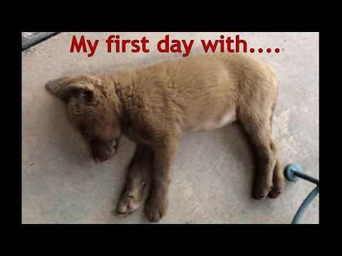 Chesapeake Bay Retriever Puppy Day 1  -  EP 07
