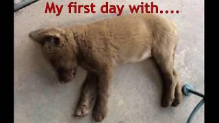 Chesapeake Bay Retriever Puppy Day 1    EP 07