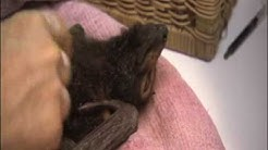 baby bat eating and care