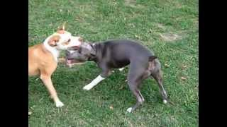 Blue Pitbull, exercise, Tessa & Conan playing