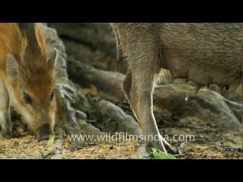 Wild boar -  Keoladeo National Park