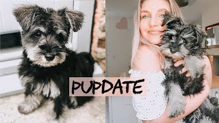 A DAY IN THE LIFE OF MY MINI SCHNAUZER PUPPY | routine, training and update