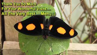 Amazing Beautiful Butterfly Collection