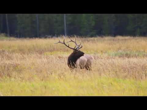 Bull Elk bugling in Yellowstone NP