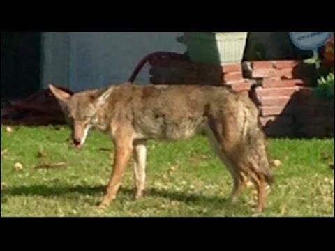 San Pedro coyotes raise concern