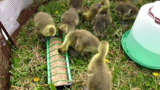 У нас пополнение! Завели гусей!!! Цена/вес/питание гусей. Жизнь в селе.(У нас пополнение: мы завели гусей! Гуси в хозяйстве. Чем кормить гусей. Вес 8-дневных гусей. Цена гусей. Гусям..., 2016-05-27T06:13:26.000Z)