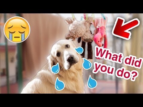 Dog Cries for His Toys, Which are Dried After Washing