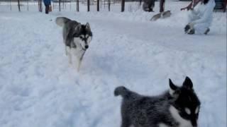щенки хаски зима 16,01,2017