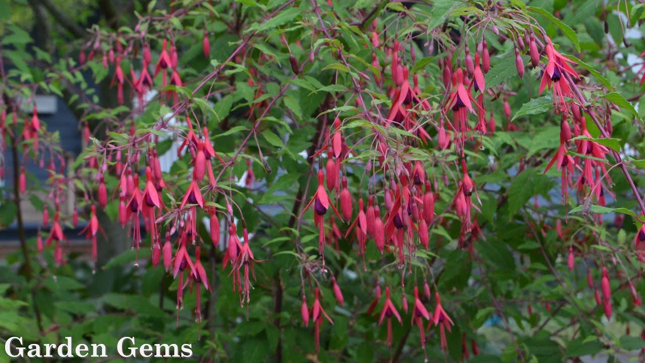 Hardy Fuchsia Fuchsia Magellanica Youtube