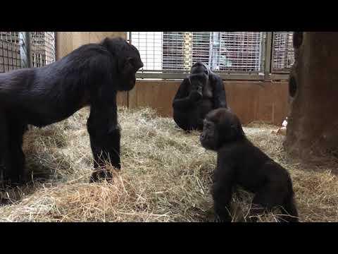 Attention-Grabbing Apes: Studying Gorilla and Orangutan