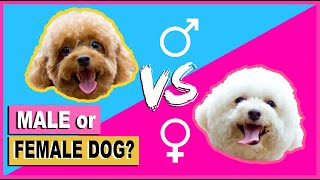 SHOULD I GET A MALE OR FEMALE TOY POODLE PUPPY/DOG THINGS TO KNOW | The Poodle Mom