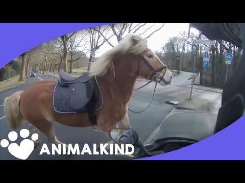 Runaway horse takes proprietor on wild chase