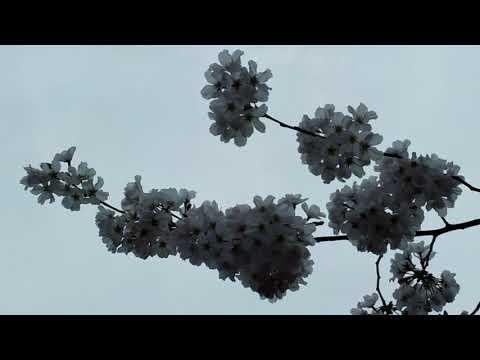 Cherry Blossom Festival 2018 - At Jefferson And Roosevelt Memorials - Washington DC - On 4/6/2018 .