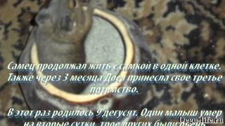 видео Беременность дегу. Роды