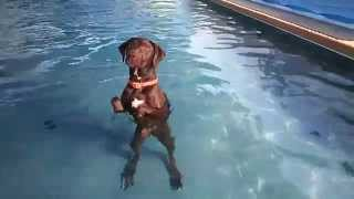 Chocolate Labrador Retriever Star Loves To Swim, Jump & Dive Underwater!