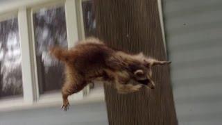 Crazy Raccoon Attacks German Shepherd