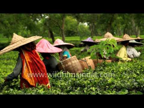 Indian tea garden workers pluck leaves - Assam
