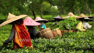 Indian tea garden workers pluck leaves - Assam