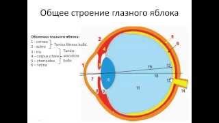 Орган зрения. ГЛАЗ