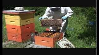 Splitting Beehive in Springtime  Part II
