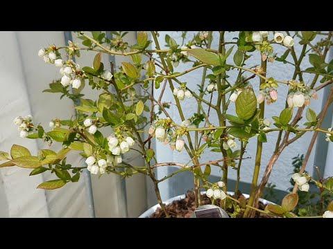 37. Цветет голубика на балконе. Что будет с огородом на балконе?