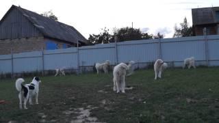 Пиренейская горная собака и Торняк питомник Якогор 14 июля 2015 года