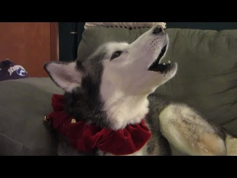 Siberian Husky Howling with Christmas Music - Fan Friday #35 - Talking Animals Christmas Dog Howl