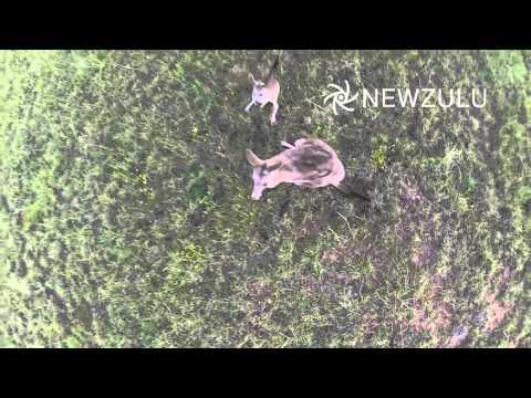 Drone vs Kangaroo   Newzulu