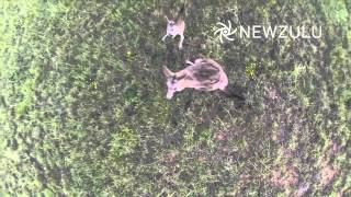 Drone vs Kangaroo | Newzulu