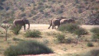 Desert elephant in Damaraland Namibia