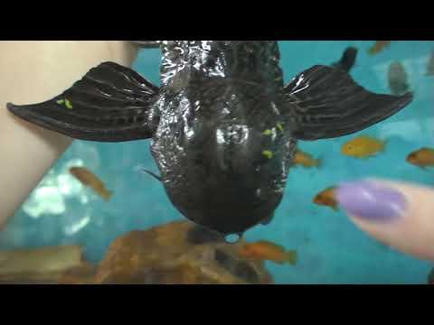 самочка АНЦИСТРУС пошла чистить аквариум у цихлиды. КРАСАВИЦА!