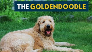 Goldendoodle: Everything You Must Know About This Teddy Bear Dog!