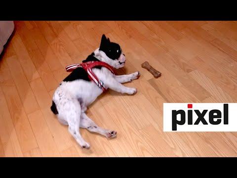 French Bulldog's Hilarious Reaction to a Toy Bone