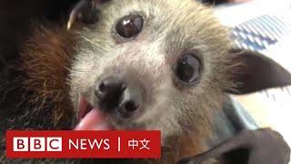 肺炎疫情:「妖魔化蝙蝠是不對的」- BBC News 中文