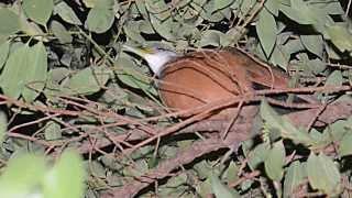 pájaro nocturno