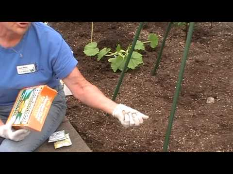 How to plant pole beans