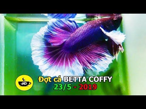 Đợt cá BETTA COFFY 23/5 - 2019 | SUPER GOLD - FCCP RED - DUMBO PK + HM - FC RED