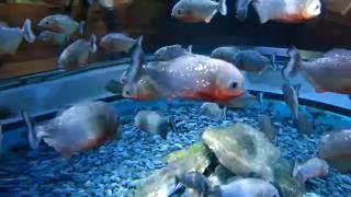 Пиранья Наттерера в аквариуме Коэкс