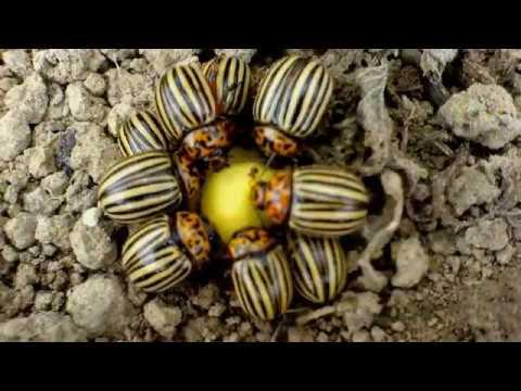 Вопрос: Есть ли колорадские жуки в Америке Где именно?