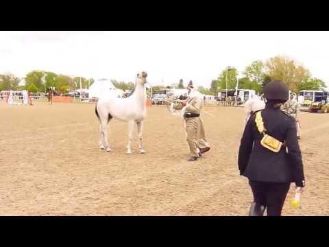 Bahrain Arab Horse Display