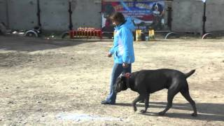 BH(собака-компаньон) Астрахань весна 2016 судья Мартынова О.(Волгоград)