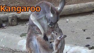 多摩動物公園のカンガルーです。 だいぶ大きくなってきましたそろそろ母...