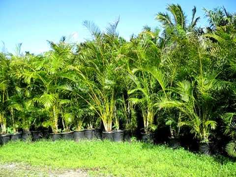 Areca Palms Youtube