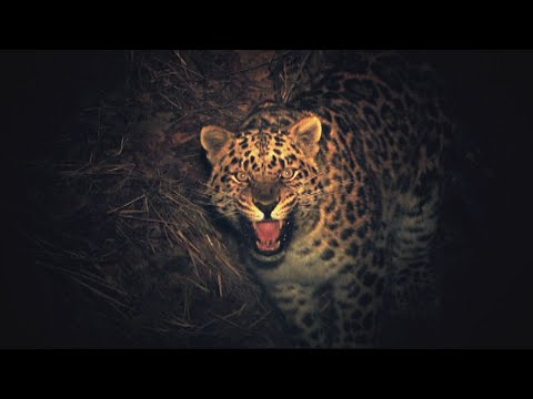 The Keepers Of Leopard Land (E3): Rangers collect blood samples to control viruses