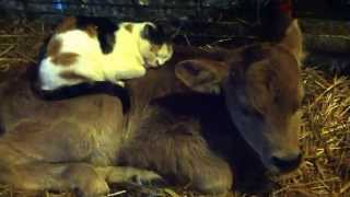 Cat sleeping on jersey calf
