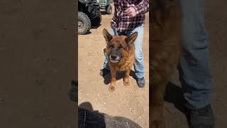 Tyrex, executive protection dog