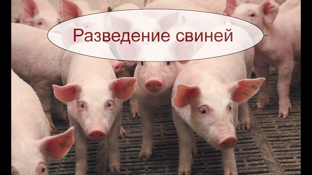 Свиноводство. Идея сельского бизнеса.