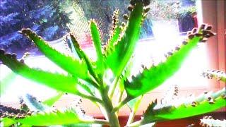 Żyworódka pierzasta na parapecie i w ogródku - rozmnażanie i ciekawostki